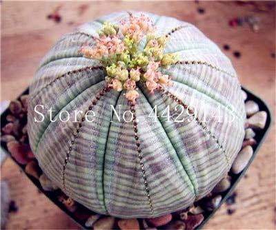 SVI Frische 100 Stück Sukkulente Samen zum Anpflanzen 1 gemischt