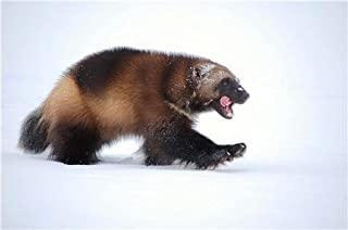Best wolverine animal painting Reviews