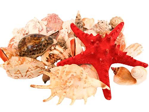 wattkiste MUSCHELMIX - schöne Dekomuscheln zum Dekorieren & Basteln | große Muscheln - 20cm Muschelkorb