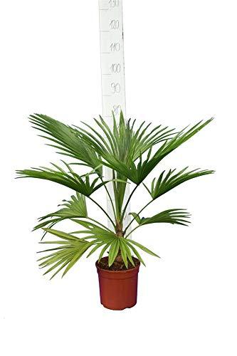Palme, Trithrinax acanthocoma - Brasilianische Nadelpalme - Gesamthöhe 80-100 cm, Topf: Ø 21 cm