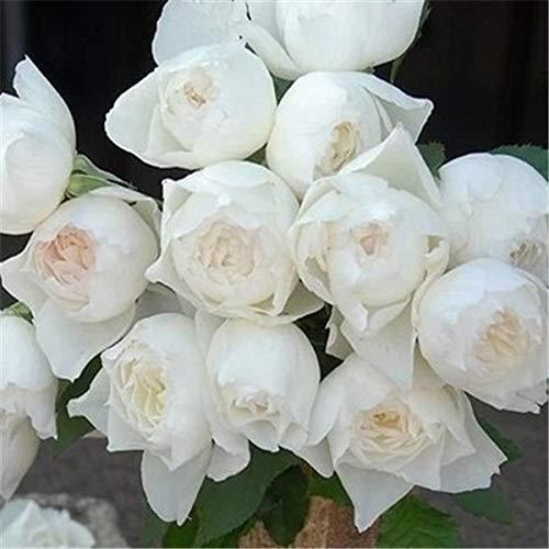 AGROBITS graines 50seeds Fleurs en pot Rosa chinensis Balcon Bonsai plantes pour le jardin & amp; Accueil Quatre Saisons plantation: Rosa chinensis 15
