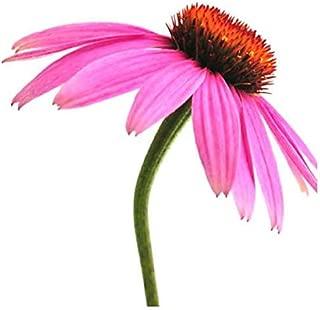 Echinacea Purple Coneflower Seeds - Perennial Wildflower - 1,000 Seeds Non GMO