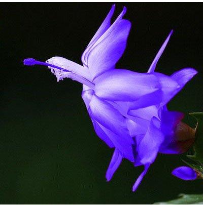 Rare Schlumbergera Graine Balcon arc-en-Bonsai Fleur Schlumbergera Zygocactus Truncatus des plantes ornementales Facile à cultiver 120 Pcs 20