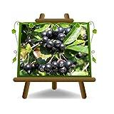 Aronia Melanocarpa - Planta de fruta en maceta de 20 cm - Árbol máximo 150 cm - 2 años