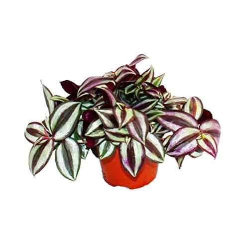 Exotenherz - Dreimasterblume - Tradescantia zebrina - pflegeleichte hängende Zimmerpflanze - 12cm Topf