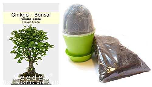 Seedeo Bonsai Anzuchtset Ginkgo (Ginkgo biloba)