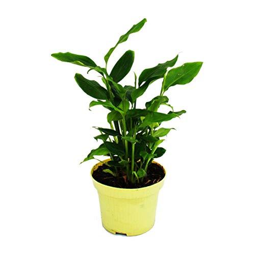 Exotenherz - Zimt-Aroma-Pflanze - Elettaria cardamomum - Kardamom mit Zimt-Duft - Zimmerpflanze im 12cm Topf