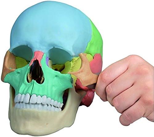 Osteopathie-Sch lmodell, 22-teilig, didaktische Ausfürung