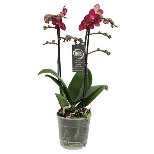Orchidee von Botanicly – Schmetterlingsorchidee – Höhe: 45 cm, 2 Triebe, rote Blüten – Phalaenopsis Red Lion