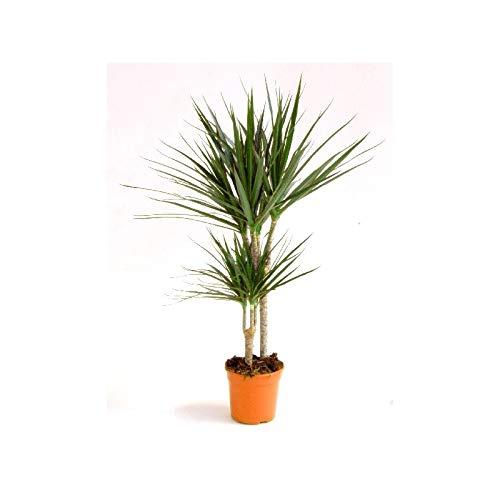 Verdecora - Dracena marginata - Maceta 2 litros (Altura 65-75cm)