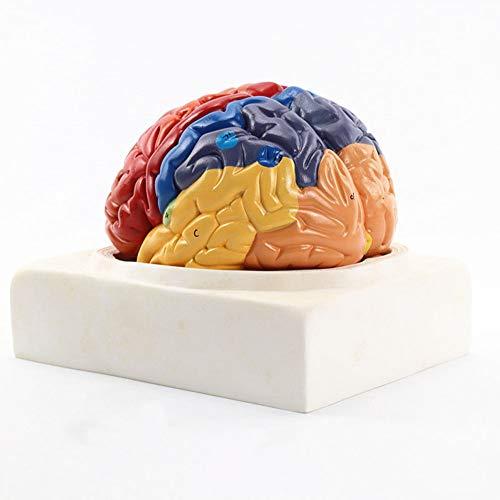 MXX Regionales Gehirnmodell, Farbcodierte Regionen, Handgemalt, Dazu Gehören Frontal, Parietallappen, Okzipitallappen, Temporallappen, Motorischer Und Sensorischer Kortex, Kleinhirn Und Hirnstamm