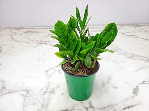 zammia Zamifolia -低光植物-易护理室内植物- 1加仑花盆-总高度13