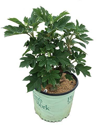 Premier Plant Solutions 19637 Oakleaf Hydrangea (Quercifolia) 'Ruby Slippers' Flowering Shrub, 3 Gallon