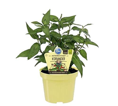 Bio vietnamesischer Koriander (Polygonum odoratum), Kräuter Pflanzen aus nachhaltigem Anbau