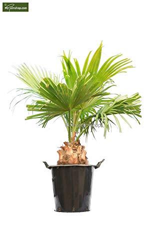Palme - Chinesische Schirmpalme - Livistona Chinensis - verschiedene Größen (140-160cm - Stamm 20-30cm Topf Ø 45cm)