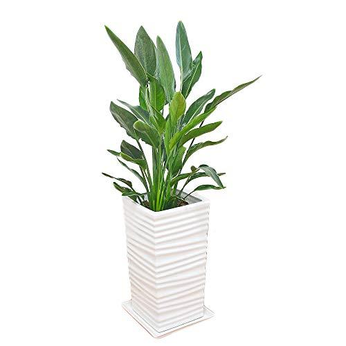 観葉植物 ストレリチア・レギネ バードオブパラダイス 極楽鳥花 ウェーブスクエアポール陶器鉢植え 8号サイズ