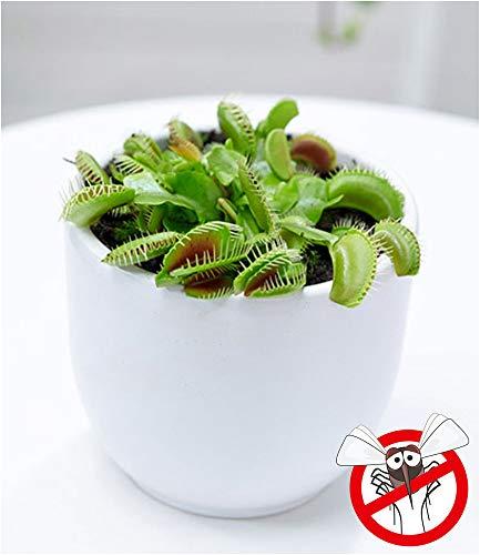 BALDUR-Garten Fleischfressende Pflanze Venusfliegenfalle, 1 Pflanze Dionaea