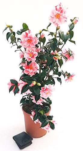 CAMELIA JAPONICA ROSA BICOLORE, vaso 23cm, pianta vera