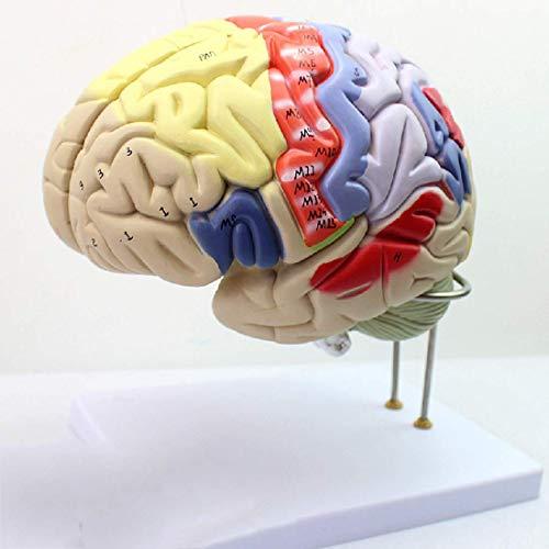 ZHTY Medizinische Lehre, menschliches Gehirnmodell, anatomisches Gehirnmodell, psychologisches neuronales Gehirn Partitionierung menschliches neuronales Modell