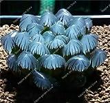 HONIC Fleischigen glänzendes Grün 200 PC Haworthia Cooperi Yulu Bonsai Truncata Blumen Bonsai Lithops Pseudotruncatella Topf Sukkulenten: 7