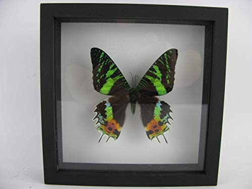 asiahouse24 Madagascar Sunset Moth (Chrysiridia madagascariensis) - echter riesiger und exotischer Schmetterling im 3D Schaukasten, Bilderrahmen aus Holz - gerahmt - Taxidermy