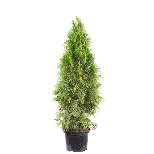 Lebensbaum 'Smaragd' C5 - Thuja occidentalis smaragd - Höhe ca. 80-100 cm