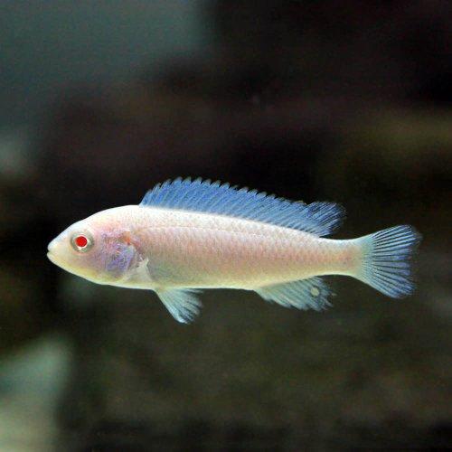 (熱帯魚)スノーホワイトシクリッド(約2-4cm)<4匹>[生体]