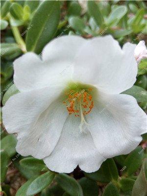 Coloré Portulaca semences, rose moussue Graine pourpier Double Flower Heat Tolerant, facile Semer des graines de fleurs en plein air 100 Pcs / lot 10