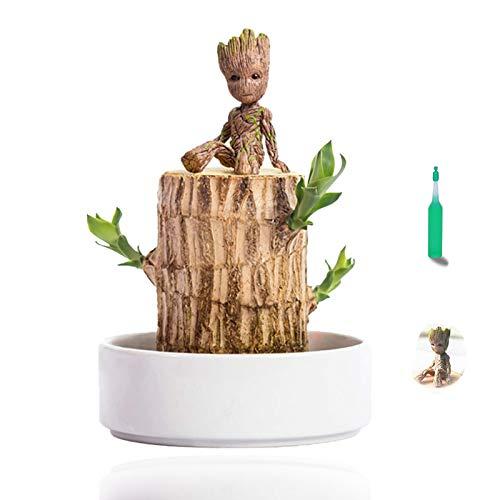 Brasilienholz Dracaena Düfte Mini brasilianische Lucky Wood Hydrokultur Topfpflanze, Schreibtischpflanze, Zimmerpflanzen, echt, um die Luft im Innenbereich zu reinigen, Luftpflanzen leben drinnen