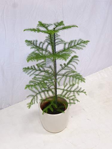 [Palmenlager] Araucaria heterophyla 100 cm/Zimmertanne // die etwas andere Zimmerpflanze