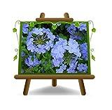 Plumbago Auriculata Imperia Blue Piante Rampicanti - su vaso da 18 cm - altezza - 130 cm