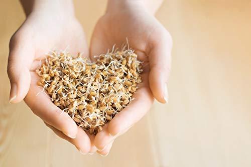 BIO Graines de germination - Blé - semences certifiées biologiques -