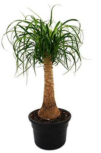 Elefantenfuß, (Beaucarnea recurvata), pflegeleichte Zimmerpflanze (19cm Topf, ca. 50-55cm hoch)