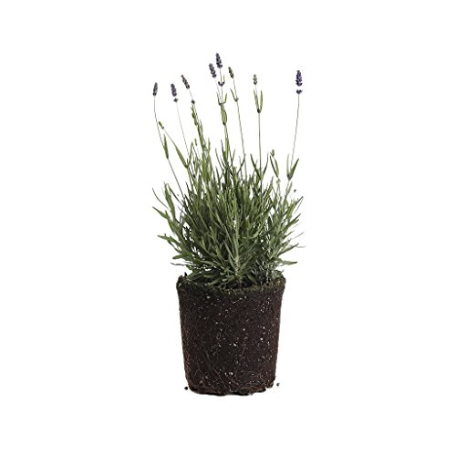 Plants by Post 1-Gallon 1 Gallon English Lavender Hidcote Live Plant, Purple