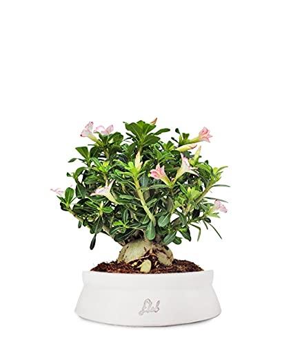 FLOB Adenium Obesum   Rosa del Deserto pianta Vera   Pianta grassa