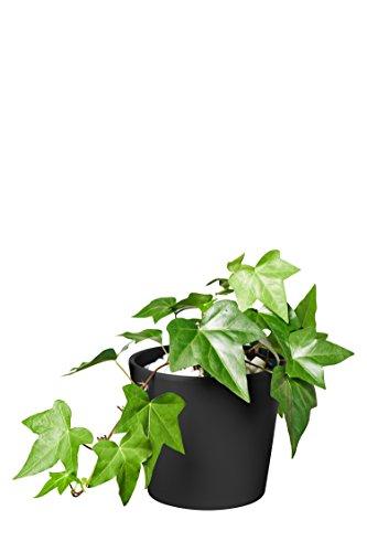 EVRGREEN | Zimmerpflanze Efeu in Hydrokultur mit schwarzem Topf als Set | Hedera helix Montgomery