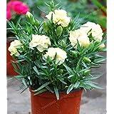 100個のカーネーションの種Caryophyllus花の種子Semillas鉢植え6フラワーポットのためのレアM愛の花