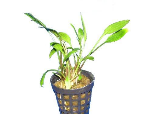 Aquariumpflanzen Cryptocoryne willisii, Wasserpflanzen