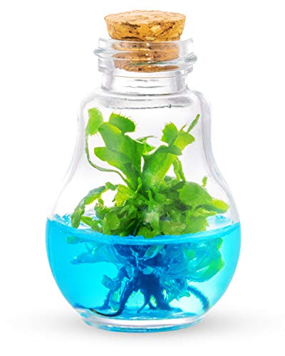 Venus Fly Trap, Grow Your Own Venus Flytrap in a 100% Self Sustaining Glass Terrarium, Maintenance Free, Easy to Grow, Healthy Growth Guarantee