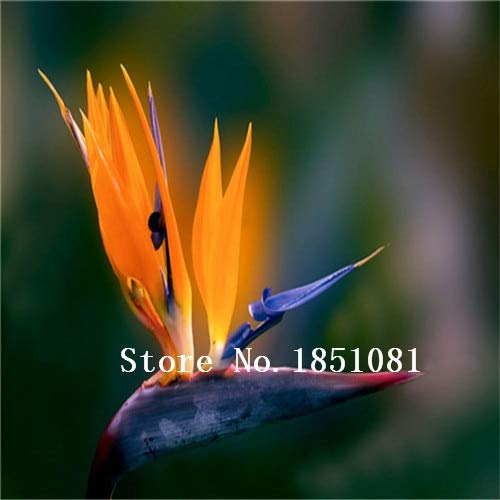 AGROBITS 100pcs / pots pack. Flower aux planteurs Toutes sortes de couleurs Strelitzia graines de semences reginae paradis des oiseaux hybride Bonsai Graines de fleurs: Violet