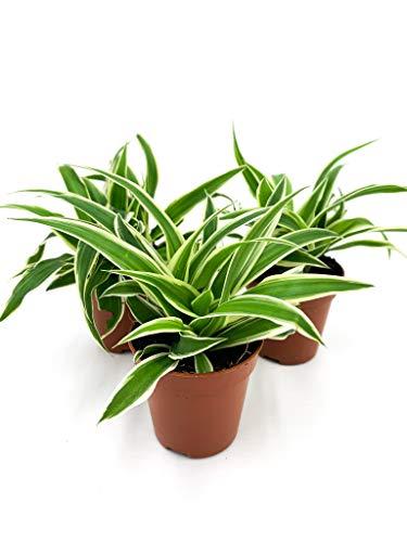 Grünlilie | Zimmerpflanze | Luftreinigend | Haustierfreundlich | Chlorophytum | gut fürs Raumklima | Topf ⌀6 cm (3, ohne Topf)