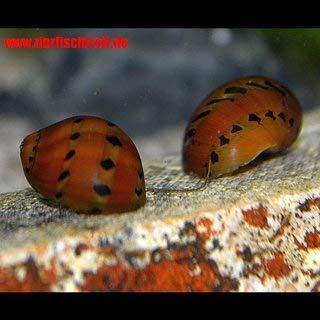 Vittina semiconica - Rennschnecke orange Track - 5 Stück TOP - Algenfresser für jedes Aquarium