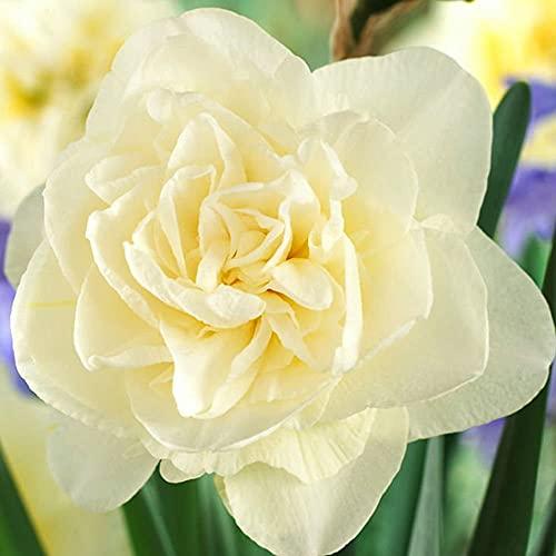 5x Bulbos Flores primavera Narcisos Flores blancas Bulbos de jardin Narciso planta Obdam