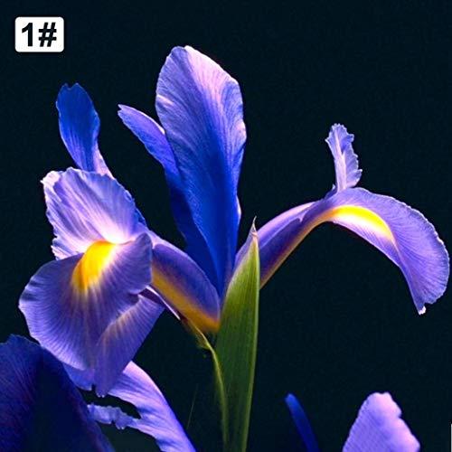 Uticon Semillas Dutch Iris Reticulata Planta Balc¨®N Jard¨ªN Bonsai Flor Home Office Decor - 200pcs Holandesa Iris Semillas