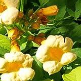 Campsis Radicans 'Flava' - Gelbe Trompetenblume 50-60 cm Pflanzcontainer -