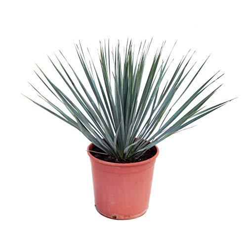 Zimmerpflanze von Botanicly – Palmilie – Höhe: 40 cm – Yucca Rostrata