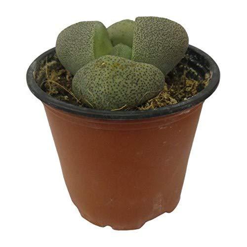 Cactus Pleiospilos en Maceta Pequeña Crasa Pata de Elefante Suculenta