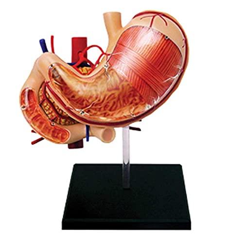 WECDS Modelo de Estudio Humano Órgano Modelo anatómico Órgano Rompecabezas Montaje Juguete desmontable 12 Partes Enseñanza Médica