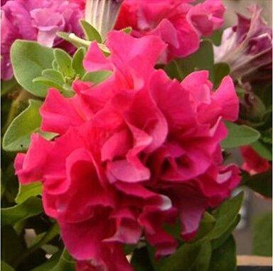 8: Gratuit bateau Garden Pétunia pétales de fleurs Graines de jardin Pétunia Semillas De pétunias, 40 graines