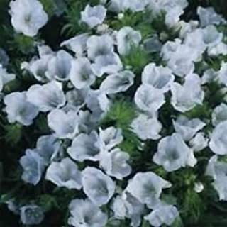 Viper's Bugloss- Echium- White- 50 Seeds- BOGO 50% Off Sale